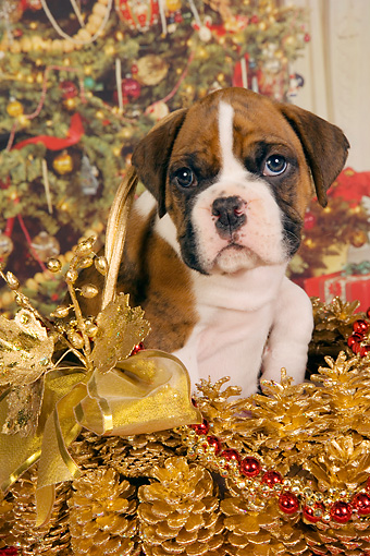 PUP 37 RK0038 01 © Kimball Stock Boxer Puppy Sitting In Christmas Basket Christmas Tree Background Studio
