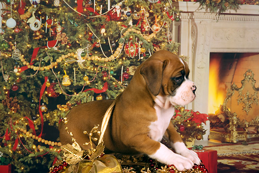 PUP 37 RK0039 01 © Kimball Stock Boxer Puppy Sitting In Christmas Basket Christmas Tree Background Studio