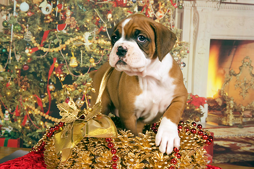 PUP 37 RK0040 01 © Kimball Stock Boxer Puppy Standing In Christmas Basket Christmas Tree Background Studio