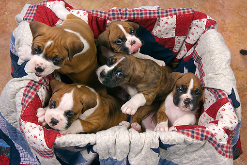 PUP 37 RK0041 01 © Kimball Stock Overhead View Of Five Boxer Puppies Sitting In Box Lined With Quilt