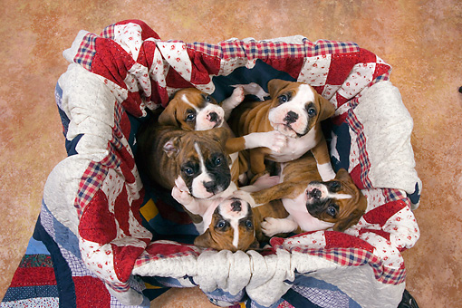 PUP 37 RK0042 01 © Kimball Stock Five Boxer Puppies Sitting In Box Lined With Quilt