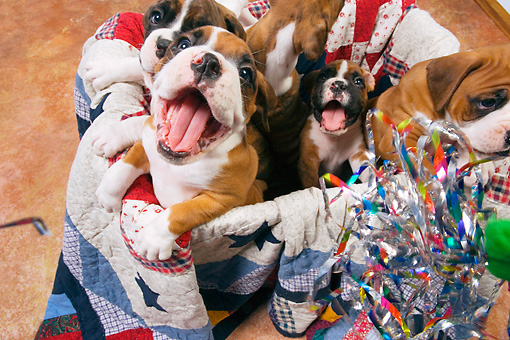 PUP 37 RK0043 01 © Kimball Stock Five Boxer Puppies Playing In Box Lined With Quilt