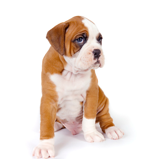 PUP 37 RK0044 01 © Kimball Stock Boxer Puppy Sitting On White Seamless