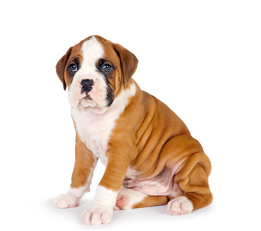 PUP 37 RK0048 03 © Kimball Stock Boxer Puppy Sitting On White Seamless
