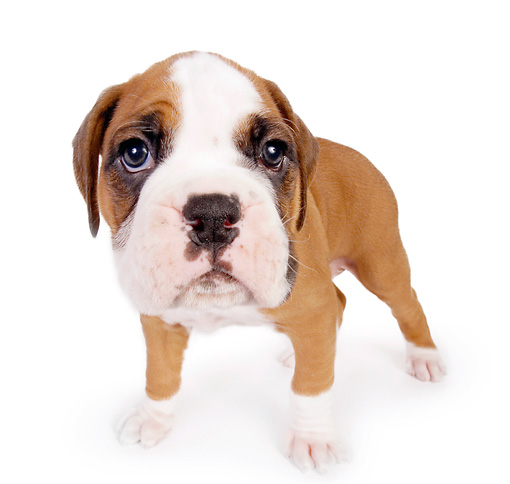 PUP 37 RK0050 01 © Kimball Stock Wide Angle Head Shot Of Boxer Puppy Standing On White Seamless