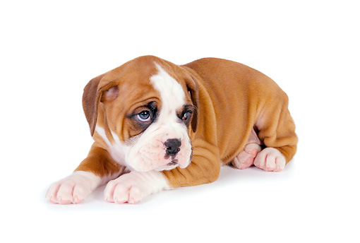 PUP 37 RK0054 01 © Kimball Stock Boxer Puppy Laying On White Seamless Studio