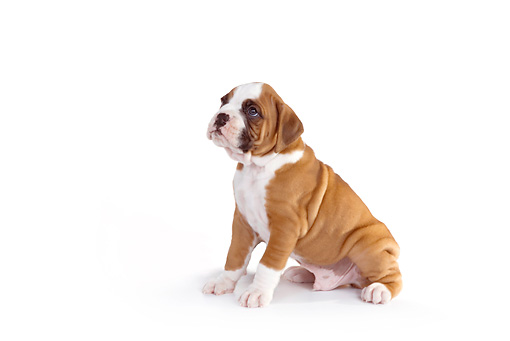 PUP 37 RK0062 01 © Kimball Stock Boxer Puppy Sitting On White Seamless Profile