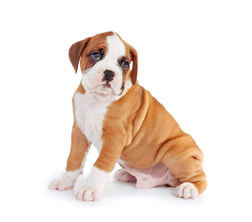 PUP 37 RK0062 02 © Kimball Stock Boxer Puppy Sitting On White Seamless Profile