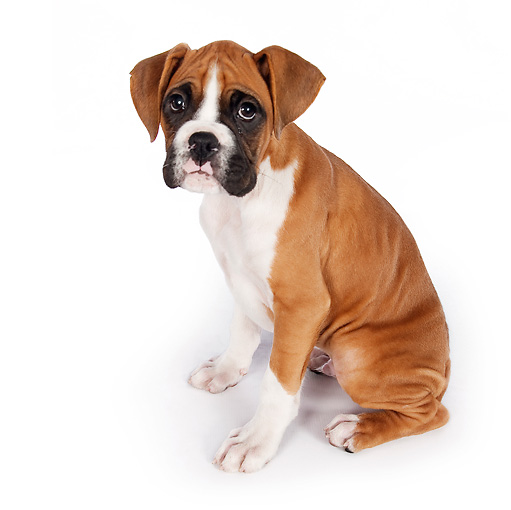 PUP 37 RK0082 01 © Kimball Stock Boxer Puppy Sitting On White Seamless