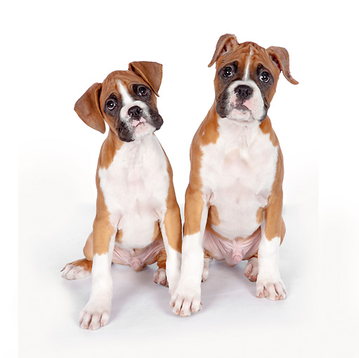PUP 37 RK0085 01 © Kimball Stock Boxer Puppies Sitting On White Seamless