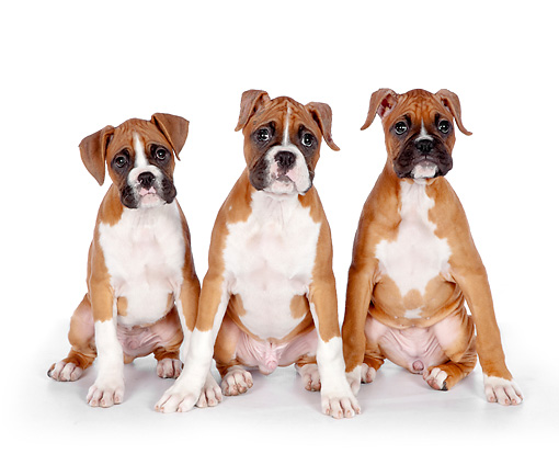 PUP 37 RK0086 01 © Kimball Stock Boxer Puppies Sitting On White Seamless