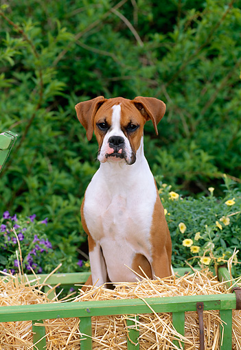 PUP 37 CE0001 01 © Kimball Stock Head On View Of Boxer Puppy Sitting On Hay In Cart By Flowers