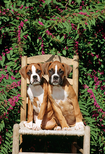 PUP 37 CE0002 01 © Kimball Stock Head On View Of Two Boxer Puppies Sitting On Chair By Foliage
