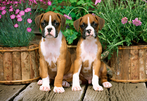 PUP 37 CE0003 01 © Kimball Stock Head On View Of Two Boxer Puppies Sitting On Wooden Deck By Pink Flowers