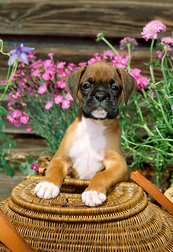 PUP 37 CE0004 01 © Kimball Stock Head On View Of Boxer Puppy Leaning On Round Wicker Basket By Flowers