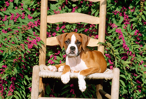 PUP 37 CE0008 01 © Kimball Stock Boxer Puppy Laying On Chair By Flowering Shrub