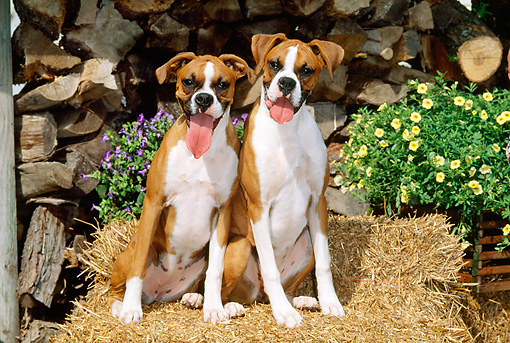 PUP 37 CE0013 01 © Kimball Stock Head On View Of Two Boxer Puppies Sitting On Hay Bales By Flowers