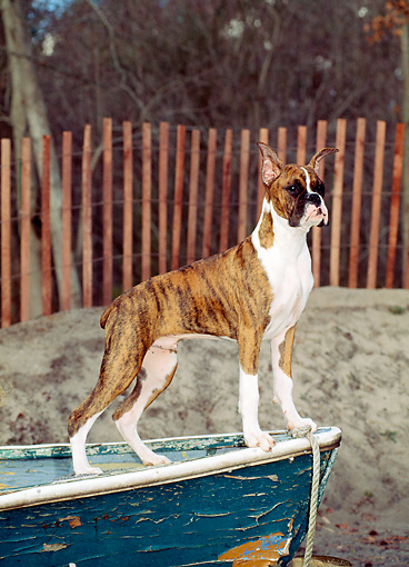 PUP 37 CE0014 01 © Kimball Stock Boxer Puppy Standing On Old Boat On Beach By Fence And Trees