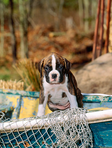 PUP 37 CE0015 01 © Kimball Stock Boxer Puppy Sitting On Old Boat By Net And Trees