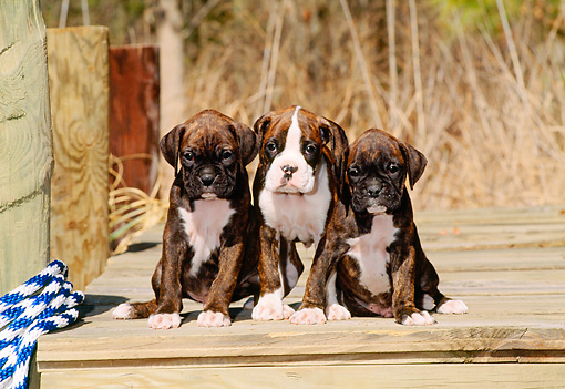 PUP 37 CE0016 01 © Kimball Stock Three Boxer Puppies Sitting On Dock