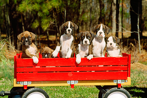PUP 37 CE0017 01 © Kimball Stock Six Boxer Puppies Sitting In Red Wagon On Grass By Trees