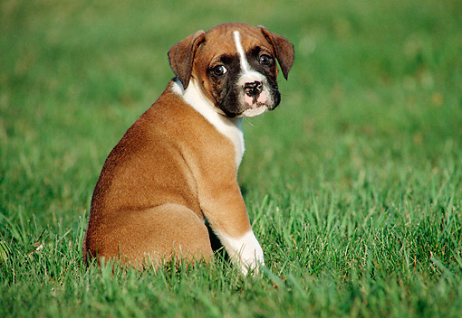 PUP 37 GR0002 02 © Kimball Stock Boxer Puppy Sitting On Grass Looking At Camera