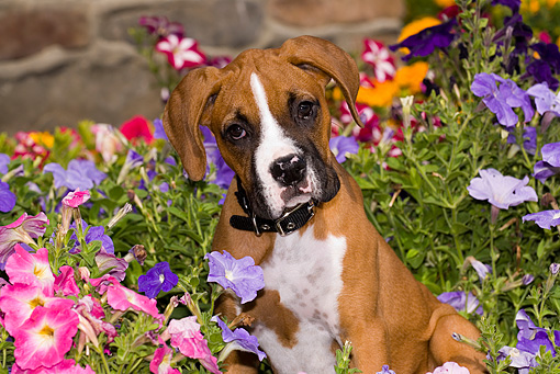 PUP 37 JF0005 01 © Kimball Stock Portrait Head Shot Of Boxer Puppy By Flowers