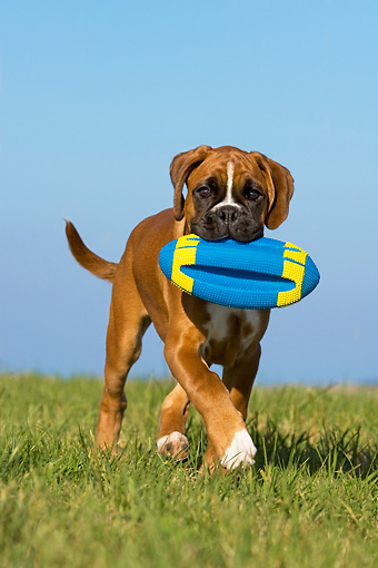 PUP 37 KH0002 01 © Kimball Stock Boxer Puppy Carrying Blue And Yellow Toy In Field