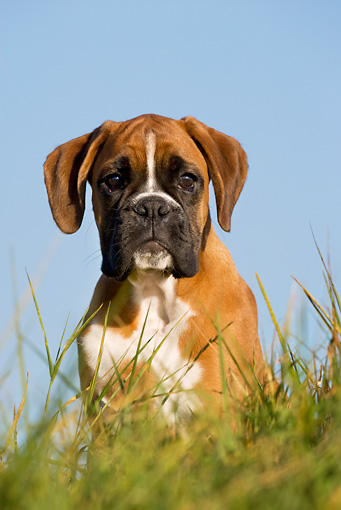 PUP 37 KH0006 01 © Kimball Stock Boxer Puppy Sitting In Field Close-Up