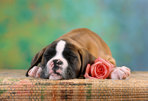 PUP 37 RC0001 01 © Kimball Stock Portrait Of Boxer Puppy Sleeping With Pink Rose Studio