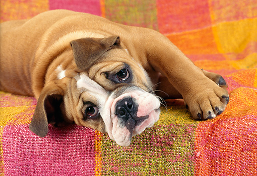 PUP 37 RC0003 01 © Kimball Stock Portrait Of Bulldog Puppy Laying On Striped Blanket Studio