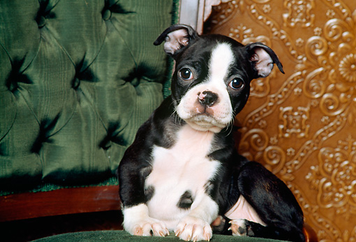 PUP 37 RK0002 05 © Kimball Stock Boston Terrier Puppy Sitting On Chair