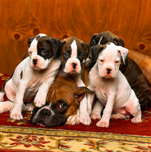 PUP 37 RK0003 02 © Kimball Stock Boxer Mother And Four Puppies Sitting On Rug