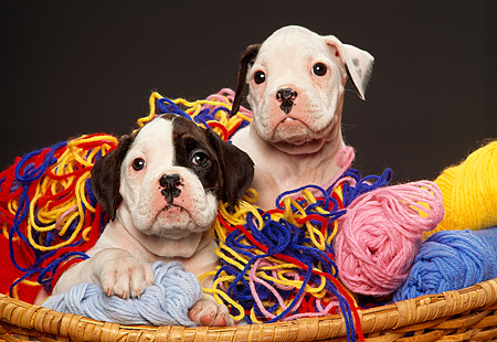 PUP 37 RK0005 04 © Kimball Stock Two Boxer Puppies Playing In Basket Of Colorful Yarn