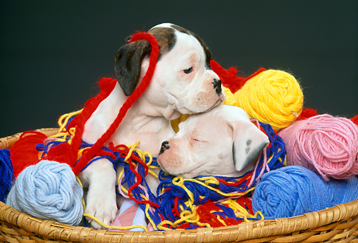 PUP 37 RK0005 13 © Kimball Stock Two Boxer Puppies Playing In Basket Of Colorful Yarn
