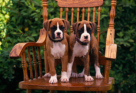 PUP 37 RK0007 05 © Kimball Stock Two Boxer Puppies With Collars Sitting Together On Wooden Chair Bushes Background
