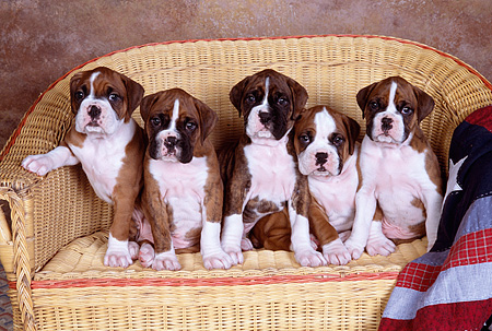 PUP 37 RK0075 05 © Kimball Stock A Group Of Boxer Puppies Sitting On Wicker Chair Studio