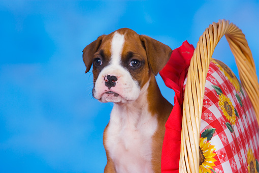 PUP 37 RK0080 01 © Kimball Stock Boxer Puppy Sitting Inside Basket Studio