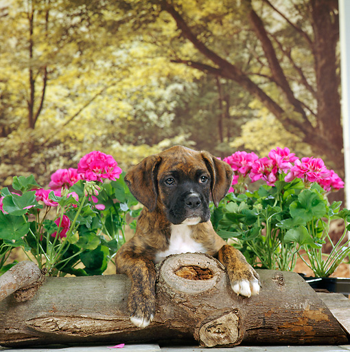 PUP 37 RS0003 01 © Kimball Stock Shoulder Shot Of Boxer Puppy Laying On Log By Flowers Trees Studio
