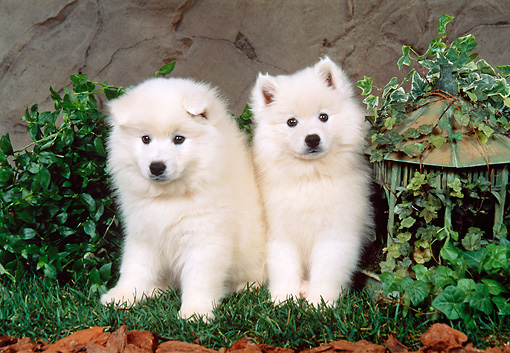 PUP 38 FA0001 01 © Kimball Stock American Eskimo Puppies Sitting On Grass