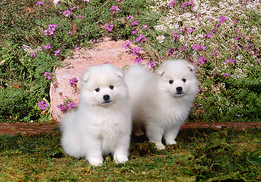 PUP 38 FA0002 01 © Kimball Stock American Eskimo Puppies Sitting On Moss By Purple Flowers