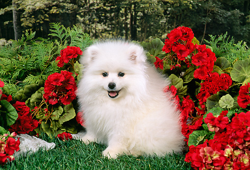 PUP 38 FA0003 01 © Kimball Stock American Eskimo Puppy Sitting On Grass By Red Flowers