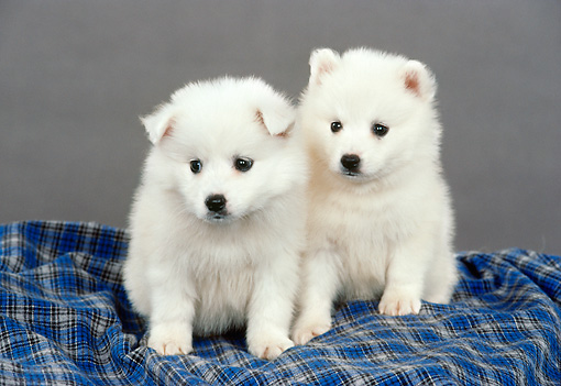 PUP 38 FA0004 01 © Kimball Stock American Eskimo Puppies Sitting On Blue Plaid Blanket