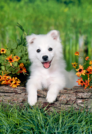 PUP 38 FA0006 01 © Kimball Stock American Eskimo Puppy Leaning On Log In Garden