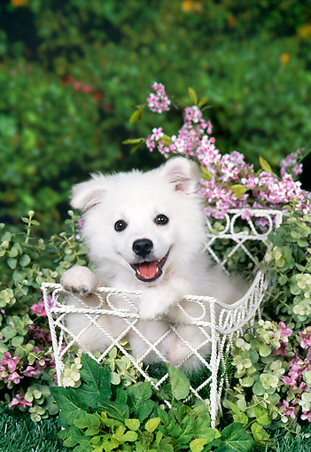 PUP 38 FA0007 01 © Kimball Stock American Eskimo Puppy Laying In White Basket In Garden