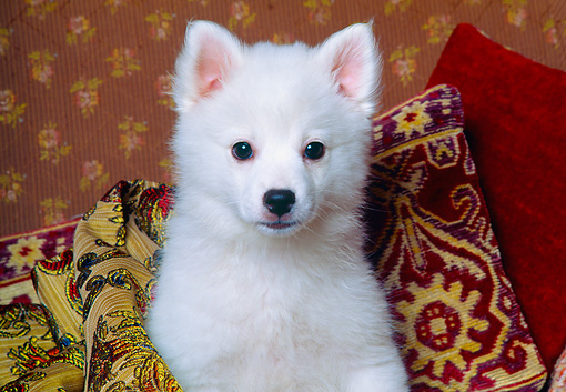 PUP 38 RK0007 01 © Kimball Stock Head Shot Of American Eskimo Sitting On Couch By Pillows Facing Camera