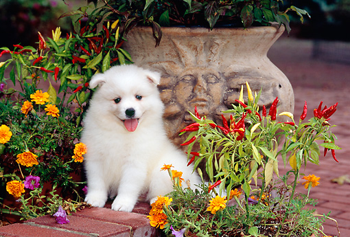 PUP 38 CE0001 01 © Kimball Stock American Eskimo Puppy Sitting On Brick Wall By Flowers And Planter