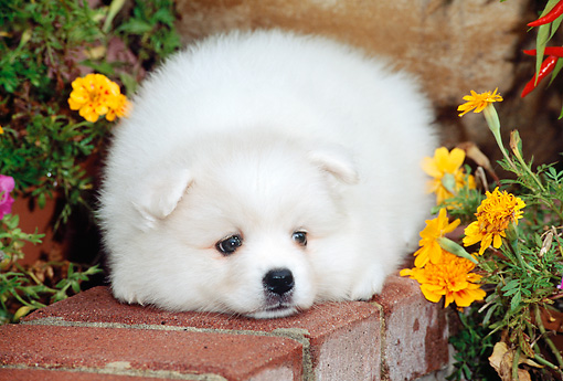 PUP 38 CE0002 01 © Kimball Stock American Eskimo Puppy Laying On Brick Wall By Flowers