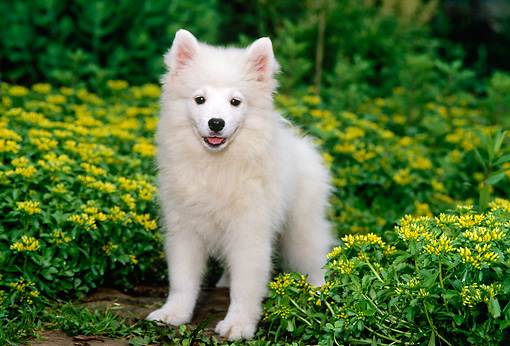 PUP 38 CE0003 01 © Kimball Stock American Eskimo Puppy Standing By Yellow Flowers