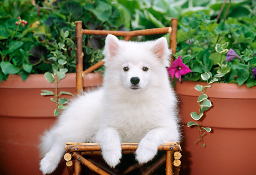 PUP 38 CE0004 01 © Kimball Stock American Eskimo Puppy Laying On Chair By Planters